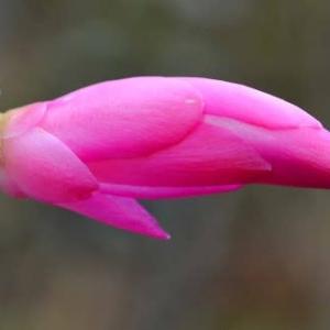 シャコバサボテンの花 (9)~挿し芽苗が開花-1