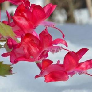 シャコバサボテンの花 (11)~「トーアカルメン」