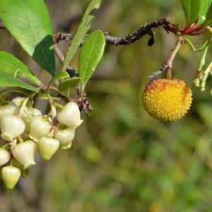 姫イチゴの木~花と果実