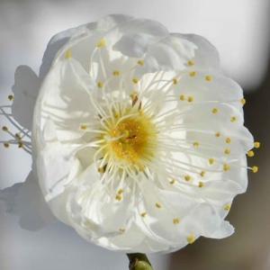 鉢植えの花梅(1)~「玉牡丹」