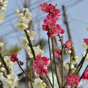 鉢植えの花梅 2021(2)~「紅白梅」