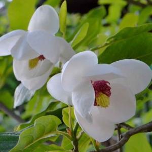 庭の「オオバオオヤマレンゲ」