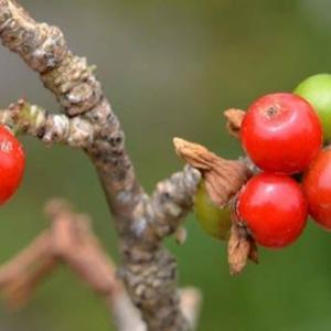 ナツボウズ(ナニワズ)の果実