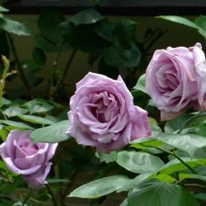 庭のツルバラ「ブルームーン」