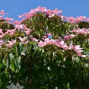 庭の「ヤマボウシ」(2)「紅富士」