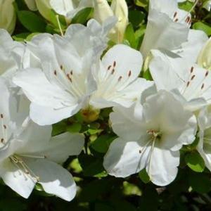 庭のサツキ(2) 白花