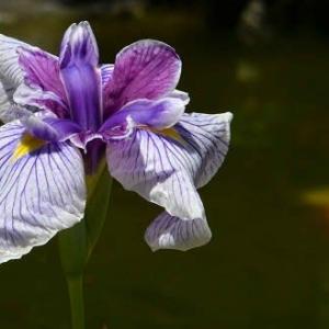 今年咲いた花菖蒲(2) 「万里の響」