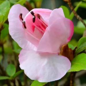 鉢植のサツキ(2)「緋梅」