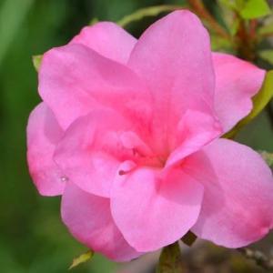 鉢植えのサツキ(3) 二重咲き