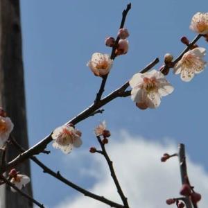 実梅「藤五郎」の栽培(1) 早春の花