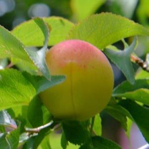 実梅「藤五郎」の栽培(2) 果実の収穫