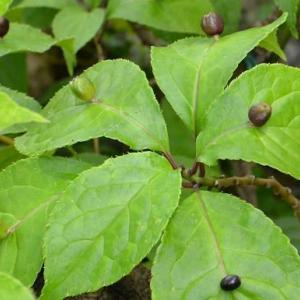 ハナイカダの 花と果実(2) 果実