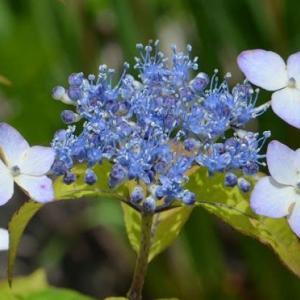 ヤマアジサイの花(4)「甘茶」