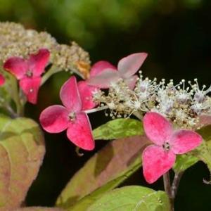 ヤマアジサイの花(5)「くれない」