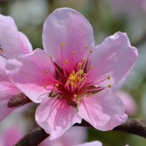 実桃「武井白鳳」の栽培(1) 春の花