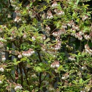 ブルーベリーの栽培 2021(1) 開花から実成りへ