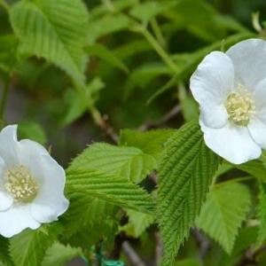 シロヤマブキの花と実(2) 実
