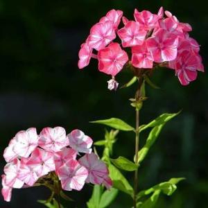 鉢植えの宿根フロックス(1)「フレックル・レッドシューズ」