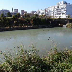 【静岡県浜松市】今年の水鳥たちの飛来はかなり少ない馬込川です