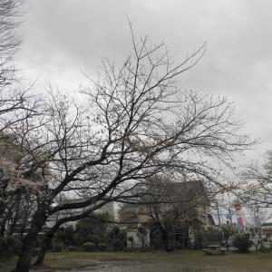 【静岡県浜松市】近所の桜ウォッチングより