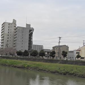 【静岡県浜松市】中区JRすぐ南の馬込川の桜も開花してました