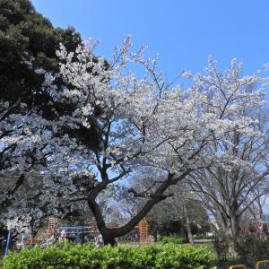 【静岡県浜松市】やっと見頃になった桜(ゆっくりご鑑賞くださいね)