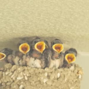 【静岡県浜松市】燕の雛たちの巣立ちは終わったようです