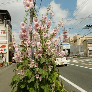 【静岡県浜松市】花と緑の街 はままつ 立葵が見頃です