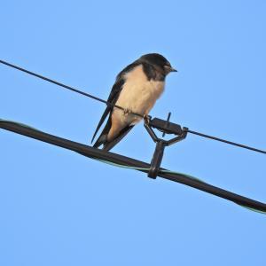 """束の間の青空と燕 """"コロナ騒ぎは食生活の安全も変えてしまいます。"""""""
