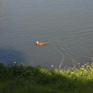 【野鳥撮影】静岡県浜松市の街中の馬込川にて