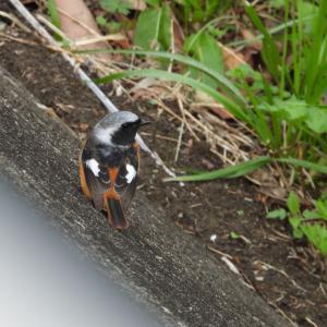 【野鳥撮影】浜松市中区街中の馬込川にて ジョウビタキの雄の後ろ姿