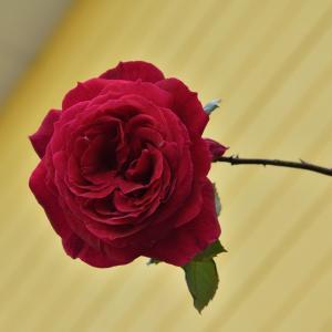 花と緑のまち浜松 薔薇