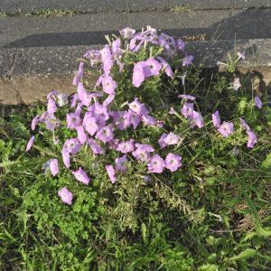 花と緑の町を宣言している浜松 住宅地を流れる芳川の花