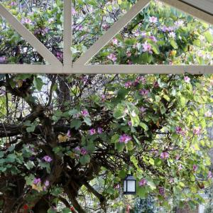 春の庭 〜バウヒニアとブラシノキとラベンダー