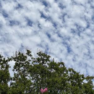 夏空に咲き始めた百日紅、そして娘から届いた雪便り 〜by空倶楽部