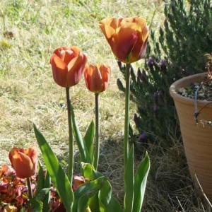 お舟の花壇のチューリップ
