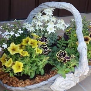 八重咲きペチュニア花衣の寄せ植え・・・