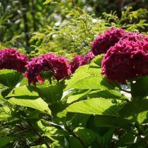 紫陽花の季節・・・