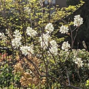 桜の頃に咲くジューンベリー・・・