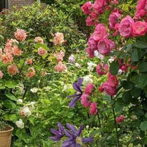 アンジェラの咲くお庭・・・