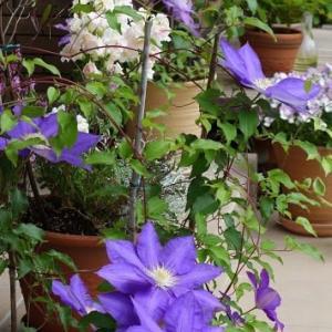紫泉とフレンチラベンダー・・・
