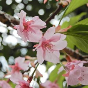 歩いて太平山神社を参拝、桜と三大名物。