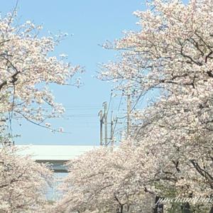 2020 車窓からの桜