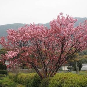 ハート桜の御朱印が人気 春日神社の阿吽の鹿さん(山口県防府市)