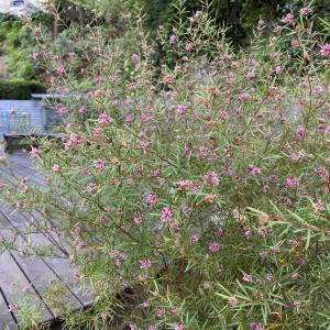 グレビレア・アメジストは寒さに強い強靭なオーストラリア植物です