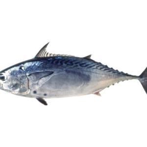 マグロ・カツオを超えた魚「スマ」とは