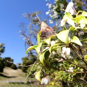 春の蝶はコツバメから Byヒナ