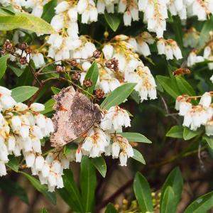 越冬ヒオドシチョウを花と一緒に Byヒナ