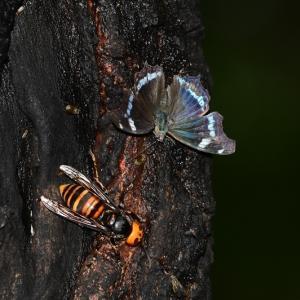 樹液に集うルリタテハとクロコノマチョウ Byヒナ