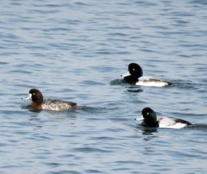多摩川河口探鳥